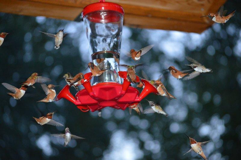 hummingbirds at Moul Creek Lodge